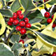 Bampton holly